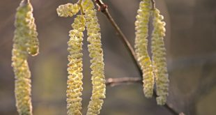 Pollensäsong